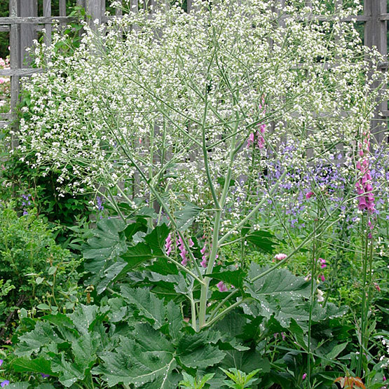 Colewort finegardening this species is notable in stature forming a giant mound and producing a profusion of airy white flowers on tall stems in late spring to midsummer and then mightylinksfo