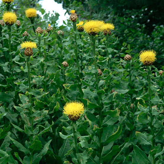 Giant knapweed finegardening has unusual ramrod stiff flower stems that bloom from early summer through late summer its fat rusty buds open into large deep yellow thistle flowers mightylinksfo