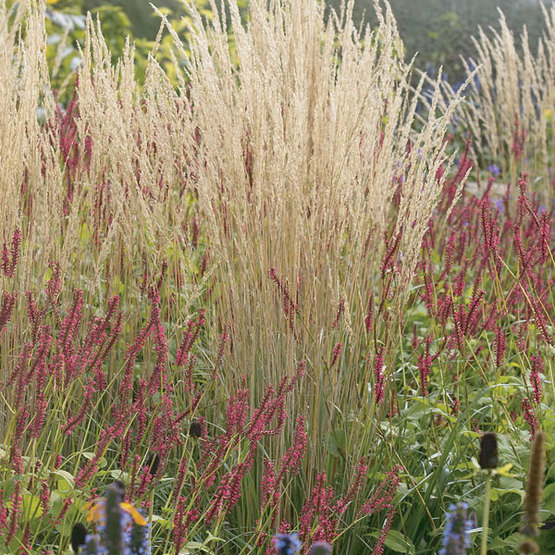 Karl foersters feather reed grass finegardening versatile attractive and care free ornamental grass with wheat like appearance slender upright deep green lustrous foliage becomes effective by early workwithnaturefo