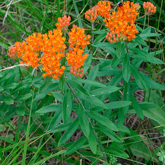 Indiana Native Plants: Butterfly Weed