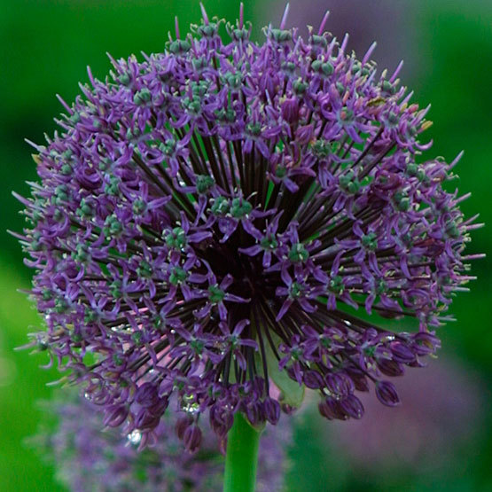 Ornamental onion allium giganteum finegardening in summer this plant bears large rounded flower heads up to 4 inches across with a multitude of star shaped lilac pink flowers mightylinksfo