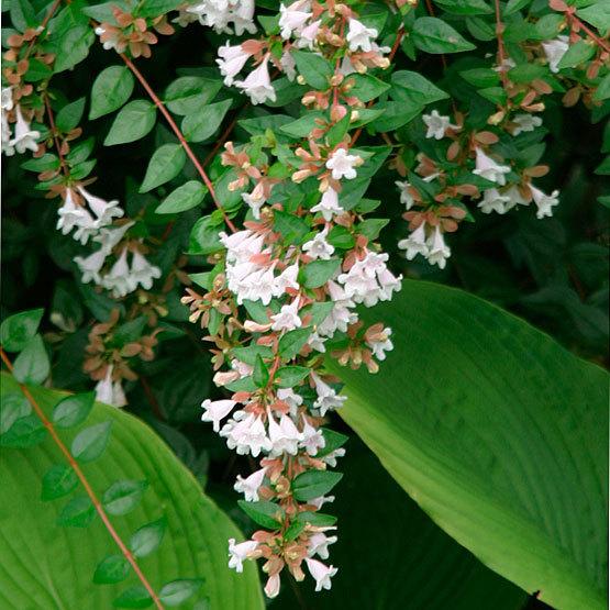 Glossy Abelia Finegardening