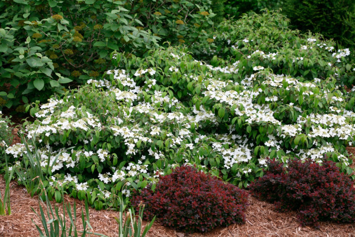 Episode 17 Dwarf Shrubs With Big Impact Finegardening