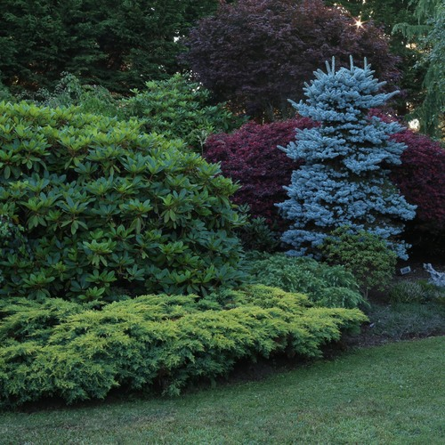 Add Year-Round Color With 'Daub's Frosted' Juniper Shrub