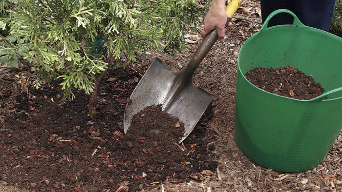 choosing and planting a conifer