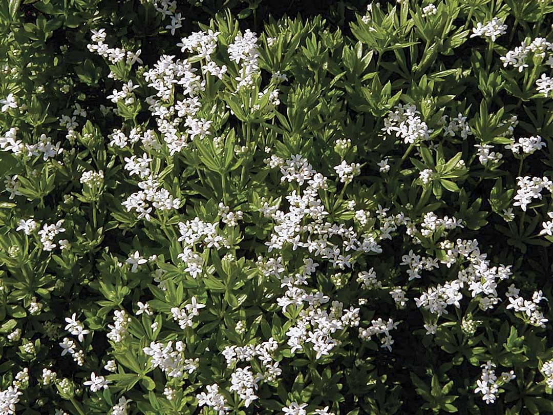 Best Fragrant Perennials – Northwest