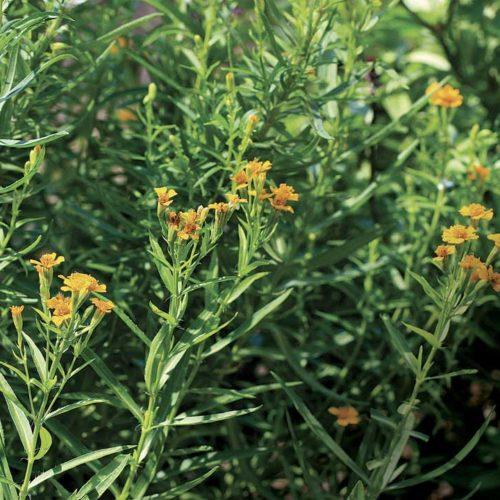 Garden Bush: Best Fragrant Perennials