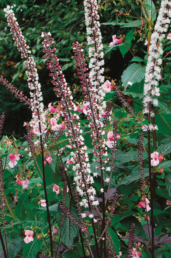 Best fragrant perennial plants for the midwestern united states pink spike bugbane mightylinksfo