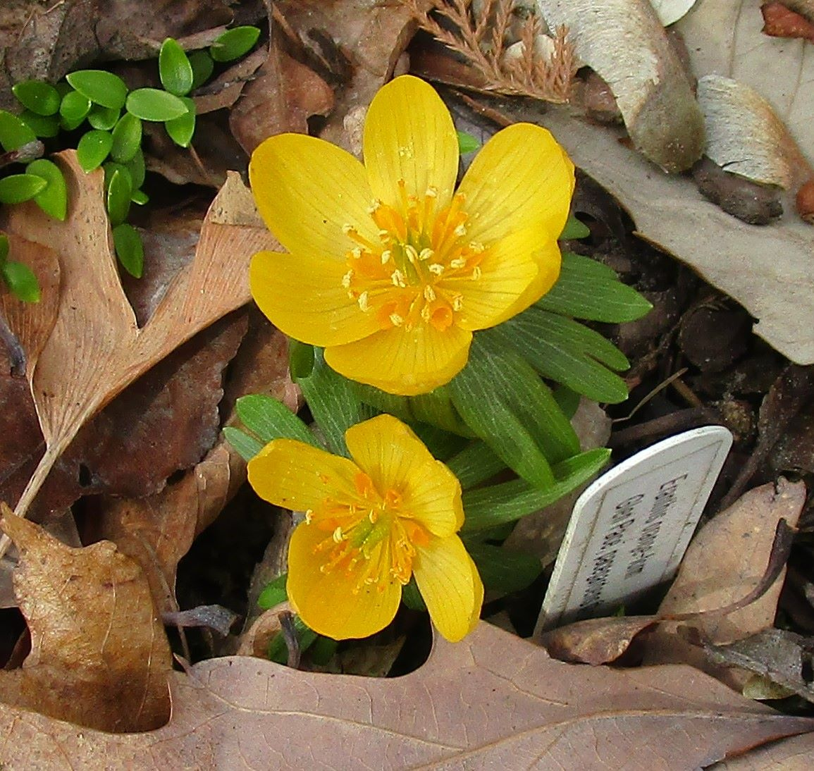 Rare Spring Flowers From A Plant Collector