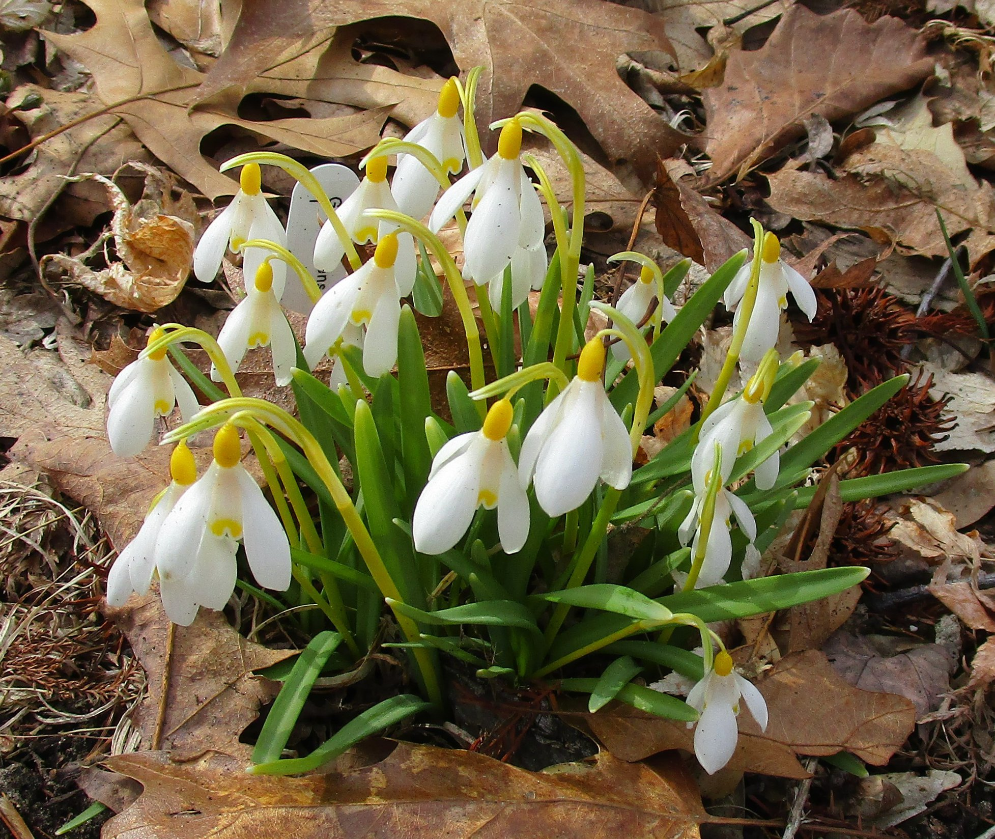 Rare spring flowers from a plant collector galanthus nivalis lutesecens is one of the selections of snowdrops that changes out the usual pattern of green on the petals and flowering stem for a izmirmasajfo