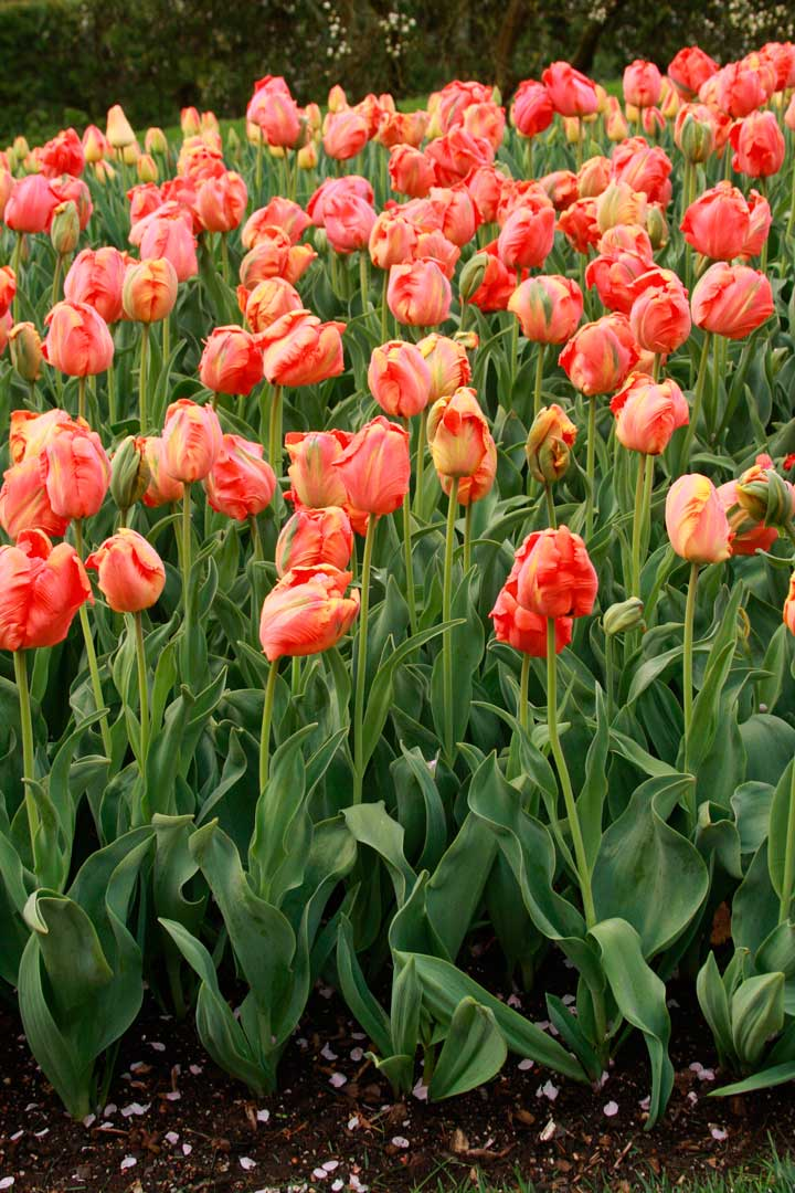 Episode 20 best spring flowering bulbs finegardening perhaps because this tulip reminds her of froot loops and toucan sam danielle is a huge fan of orange favourite parrot tulip t orange favourite mightylinksfo