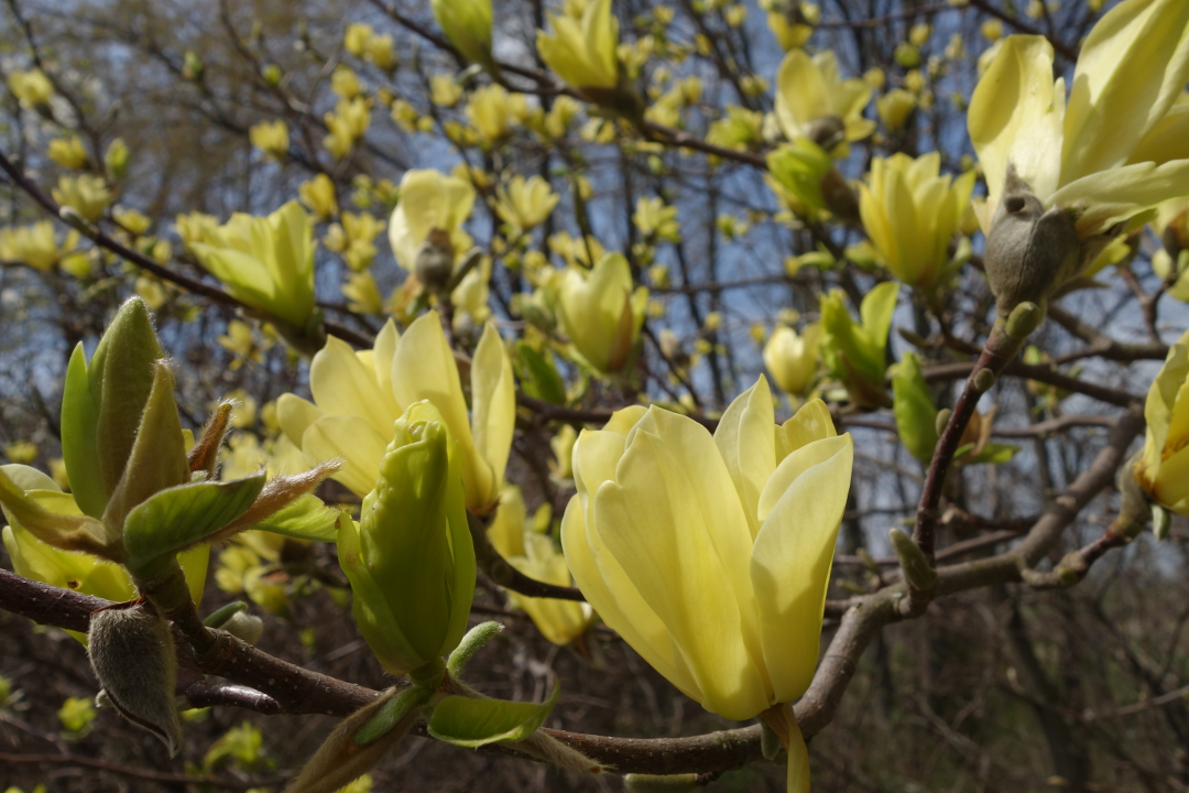 Gorgeous gold and yellow flowers deciduous magnolias are one of the sunniest signs of spring and the pale yellow selections are particularly wonderful just remember that the yellow color mightylinksfo