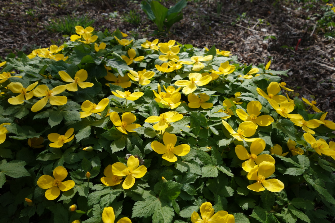 Gorgeous gold and yellow flowers hylomecon japonica japanese forest poppy zones 58 welcomes spring with cherry flowers of bright yellow easy to grow in shade it doesnt seed or become mightylinksfo