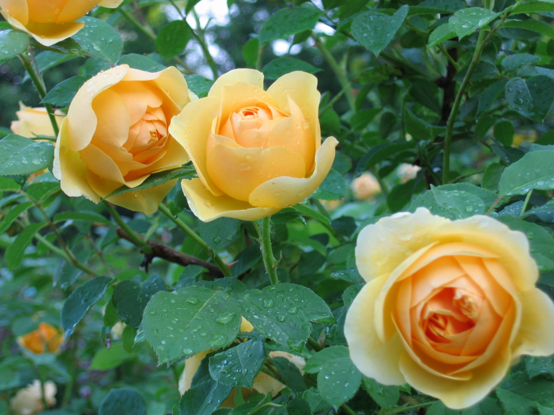 Gorgeous gold and yellow flowers graham thomas is one of the oldest of the david austin english roses but still one of the best it has big cupped warm gold flowers with a delightful mightylinksfo