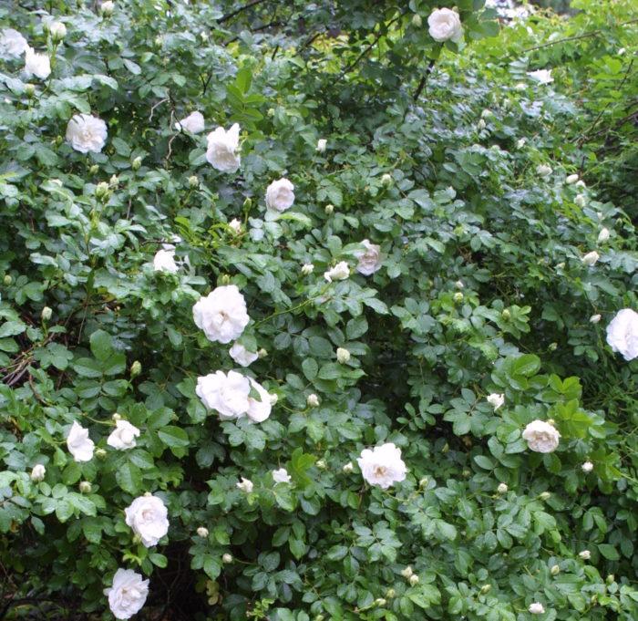 Phenomenal Timeless Cottage Garden Roses Finegardening Download Free Architecture Designs Intelgarnamadebymaigaardcom
