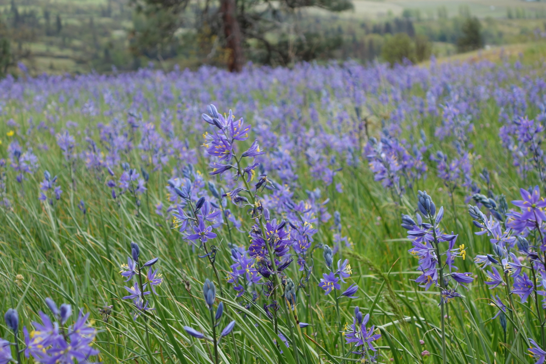Plants with lovely blue flowers there are plenty of blue or blue ish spring bulbs but one of the best is camass camassia quamash zones 410 one stem of these flowers is beautiful mightylinksfo