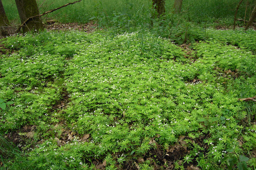 10 Ground Covers For Shade Finegardening