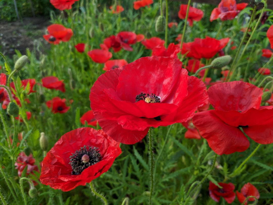 Poppies Finegardening
