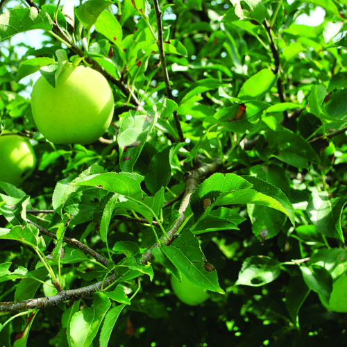 Nonspur-type apple trees