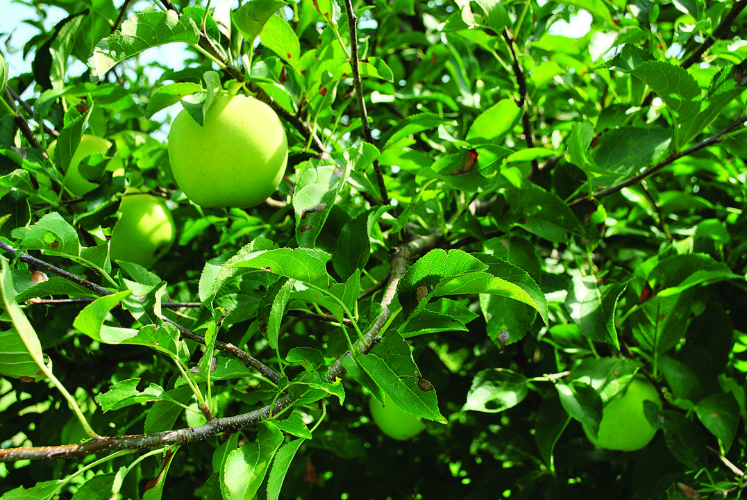 Tips for Growing Apple Trees - FineGardening