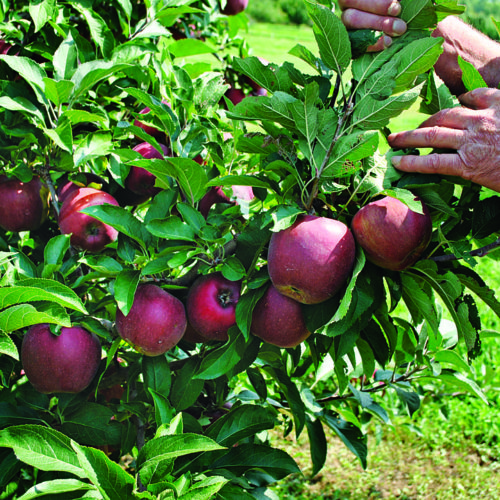 Spur-type apple trees
