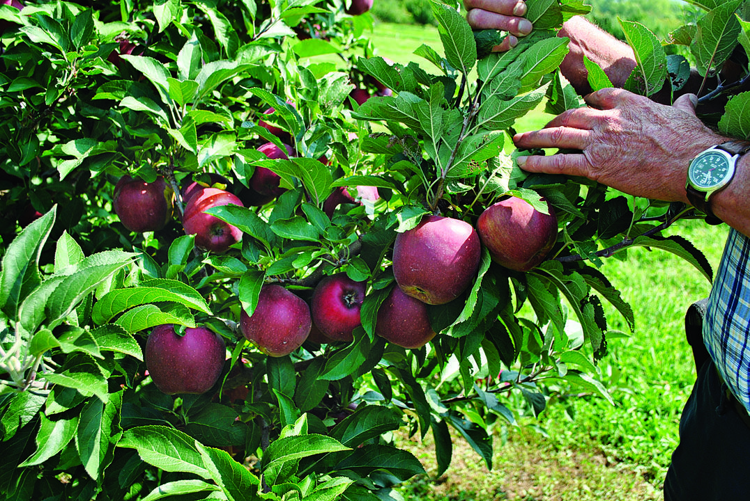 Tips For Growing Apple Trees Finegardening