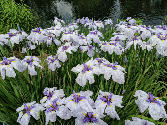 Japanese Irises - FineGardening