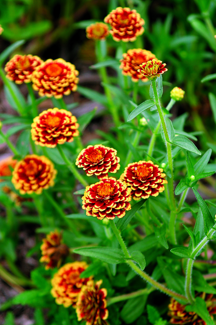Bold And Beautiful Zinnias Finegardening