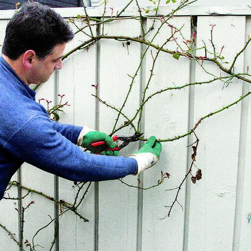 Pruning Climbing Roses Finegardening