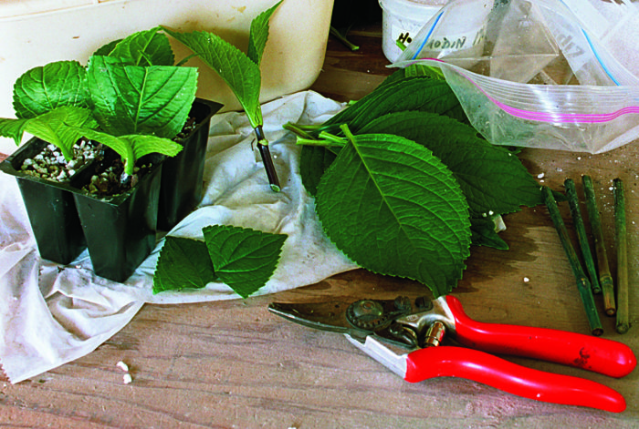 Propagate Your Shrubs from Softwood Cuttings - FineGardening