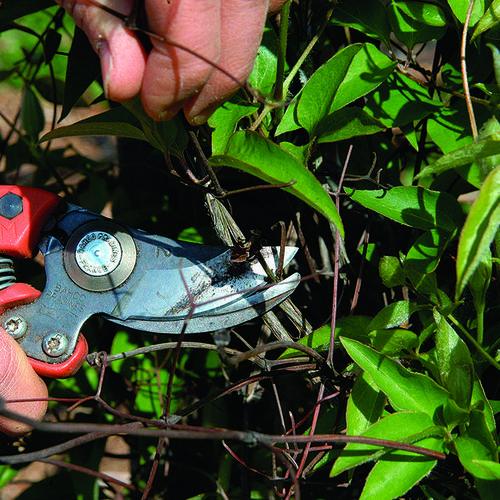 Pruning Clematis