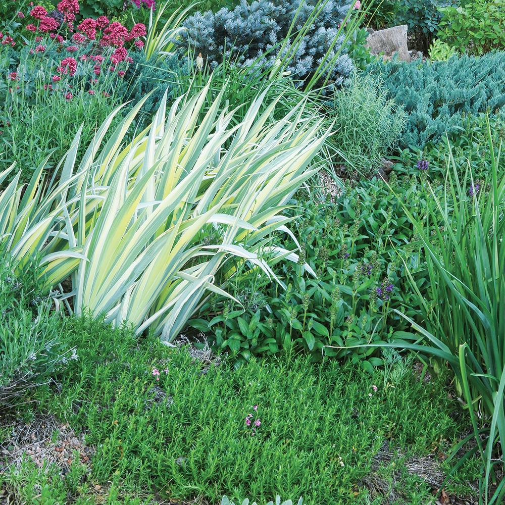 Gold variegated sweet iris