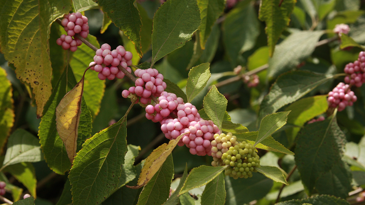 Welch's Pink beautyberry