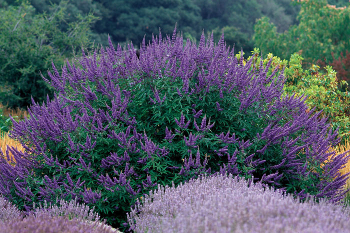 10 Drought Tolerant Shrubs Finegardening
