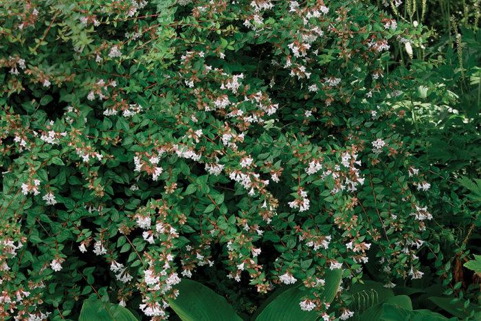 glossy abelia shrubs