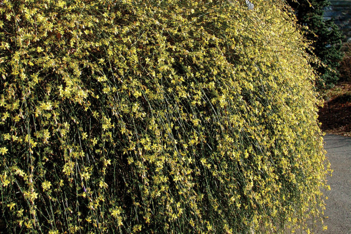 winter jasime drought tolerant shrubs