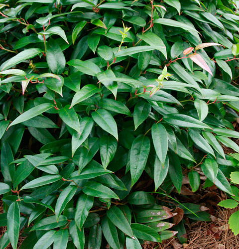 Episode 26 Broadleaf Evergreens Finegardening