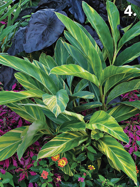 Ginger lilies