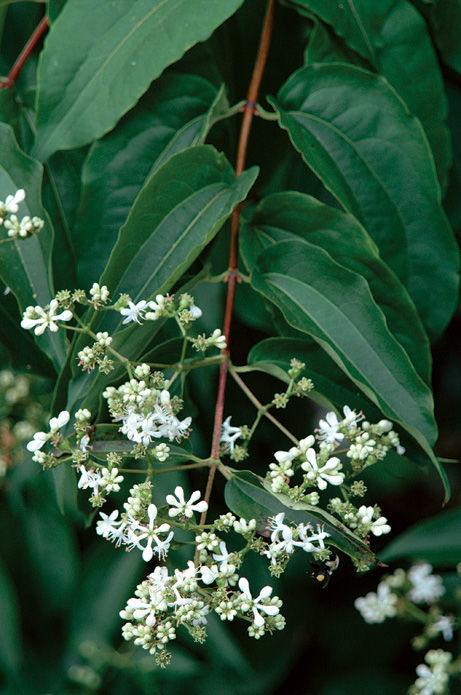 Seven-son flower (Heptacodium miconioides, Zones 5–9)