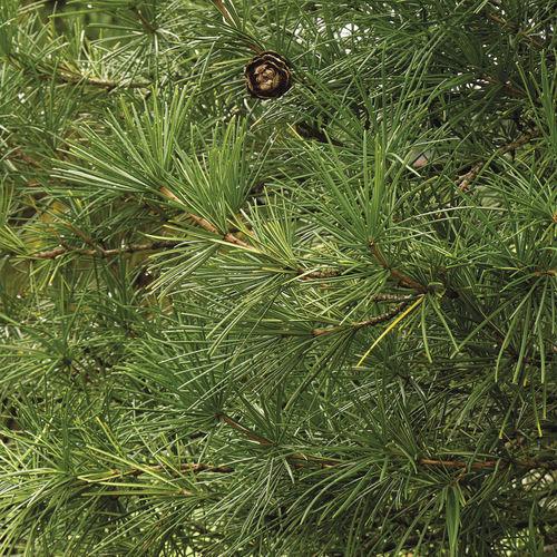 Pinaceae Finegardening