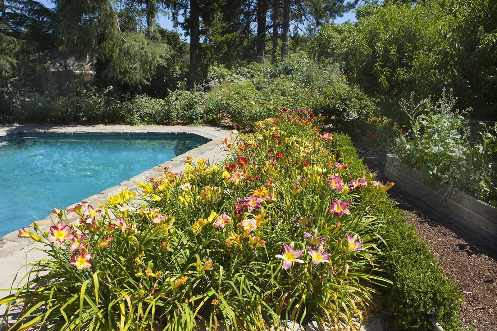 Day Lilies in Bloom around Pool