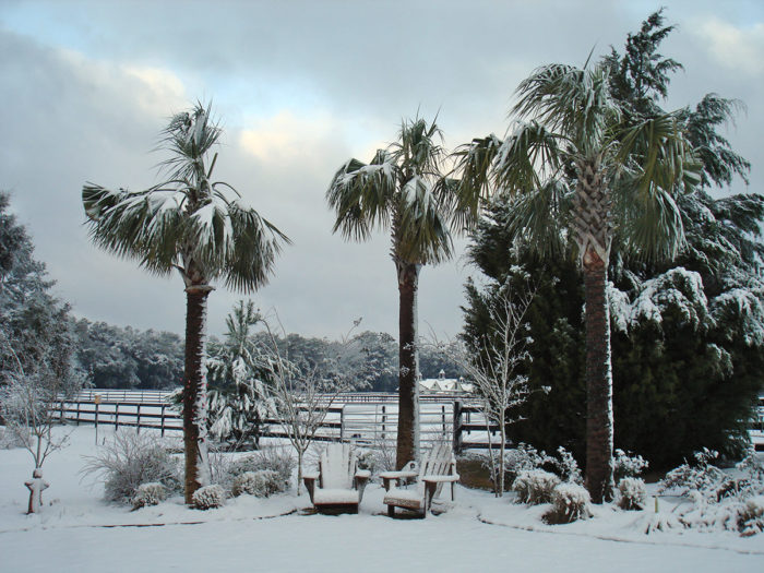 Snowflakes on Palm Trees