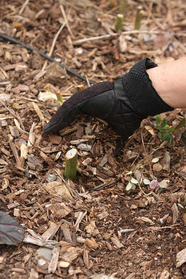 Should I Mulch in Fall to Protect Perennials for Winter?