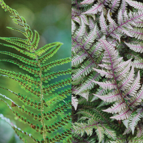 Lady and Painted ferns side by side
