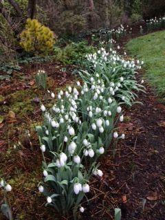 Celebrating Snowdrops Finegardening