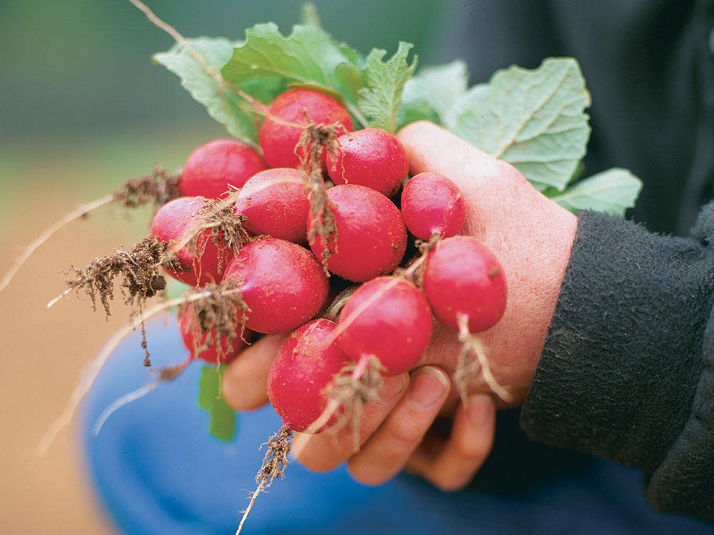 'Champion' radish