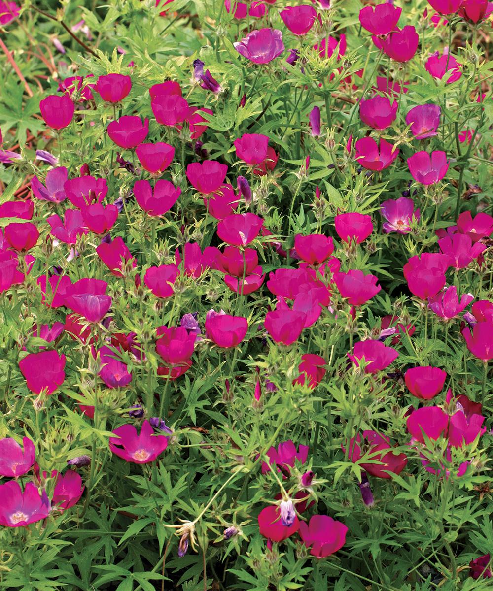 Purple Poppy Mallow