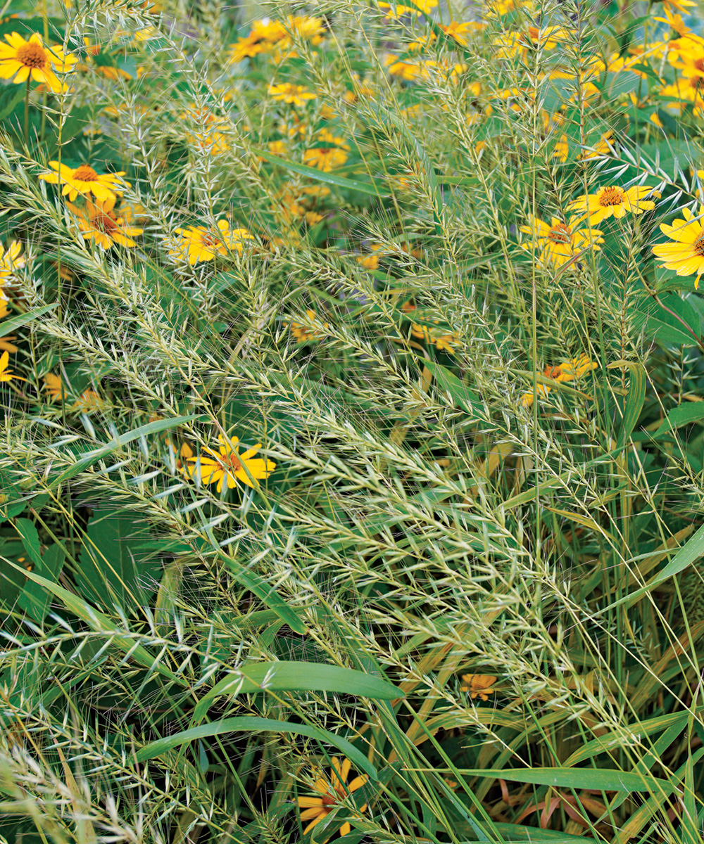 Bottlebrush Grass