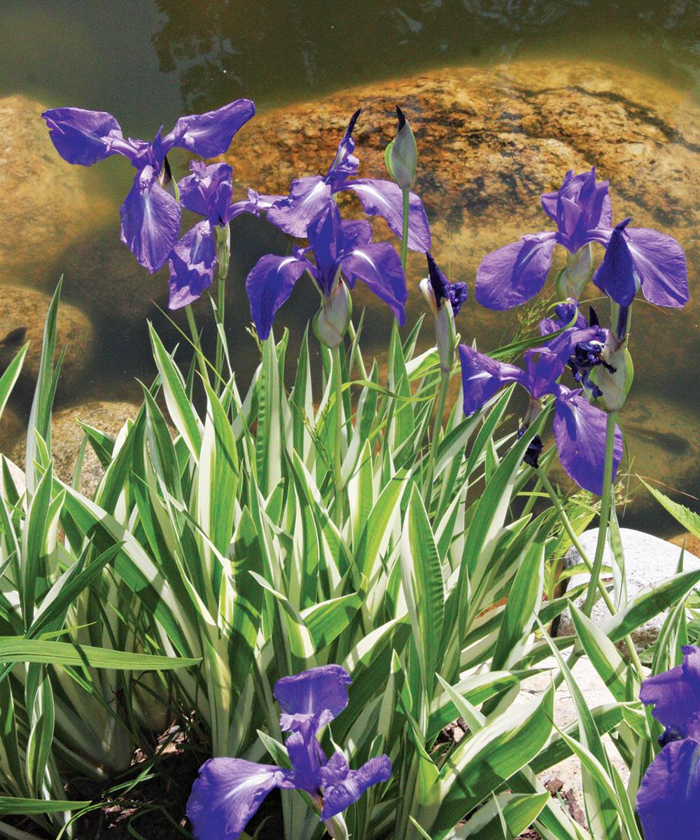 Variegated Japanese Iris