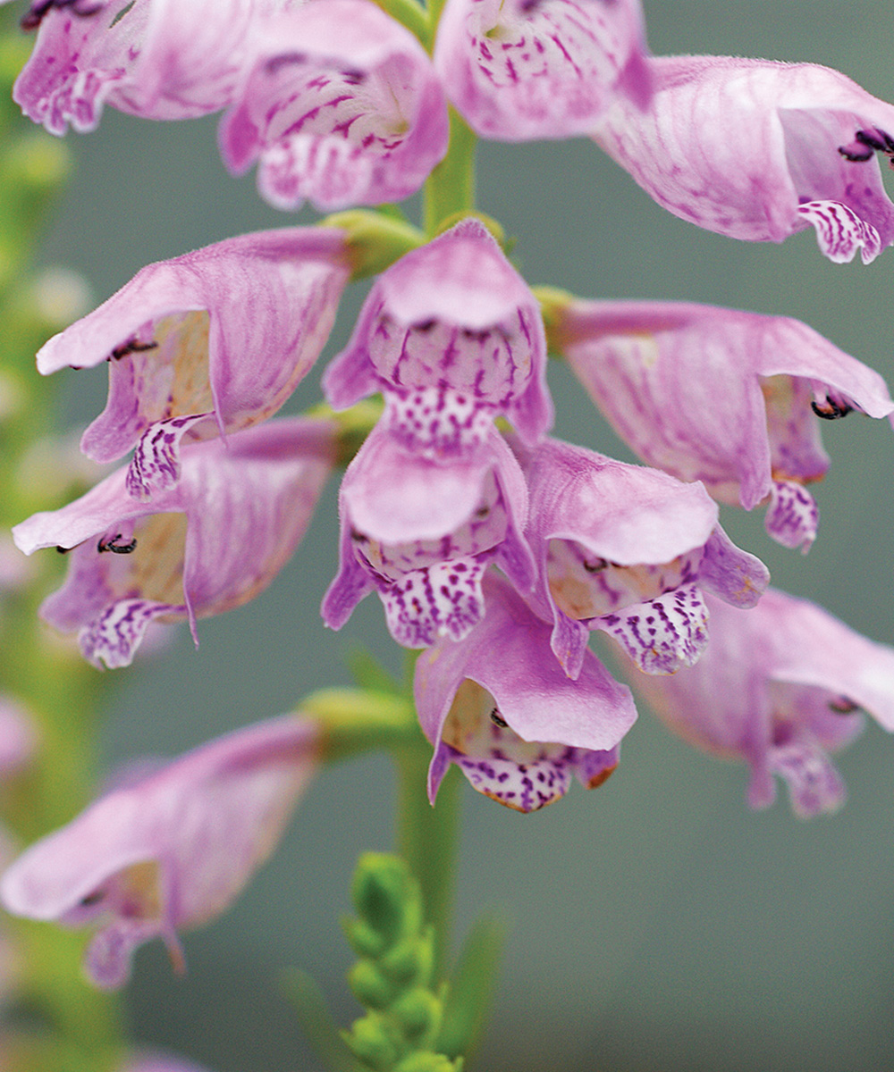 Spring Obedient Plant